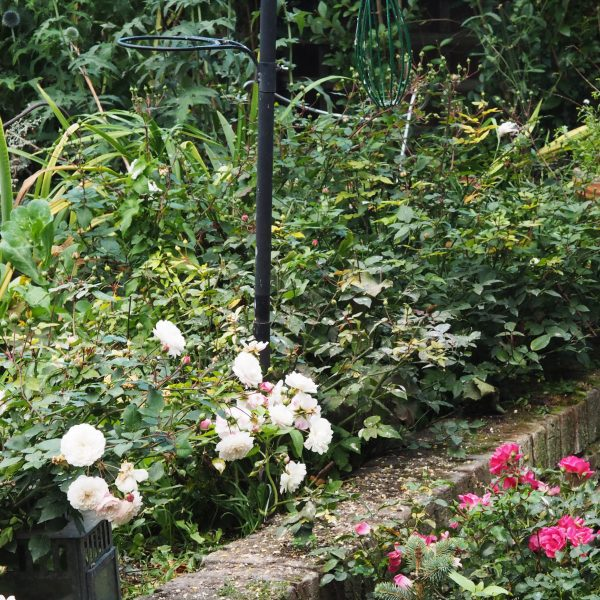 Cecile Brunner roses pruned with secateurs and shears