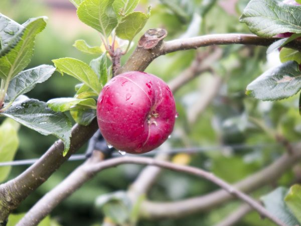 Choose spur-bearing apples for small gardens
