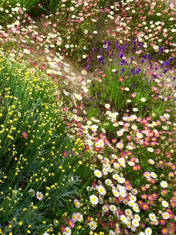 Self-seed erigeron