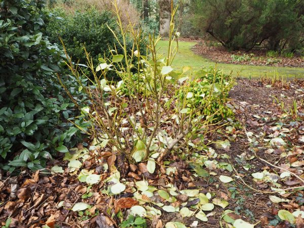 Griselinia affected by winter damage