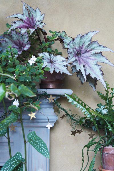 Begonia 'Martin Johnson' - why Latin plant names matter