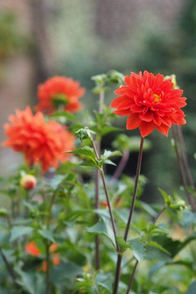 Unknown orange dahlia in the Middlesized Garden