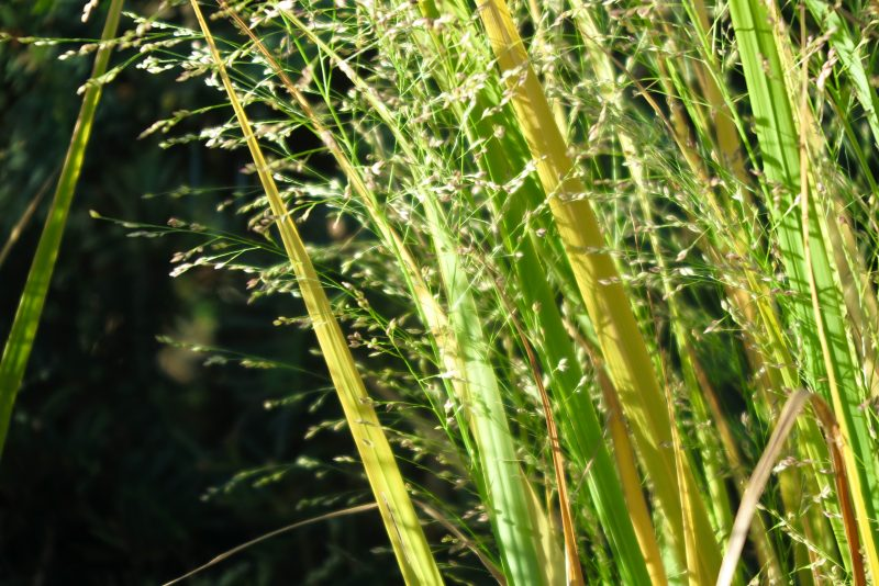 Panicum 'North Wind.'