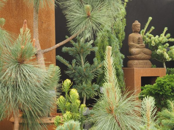 Grow pines in pots, then plant them out