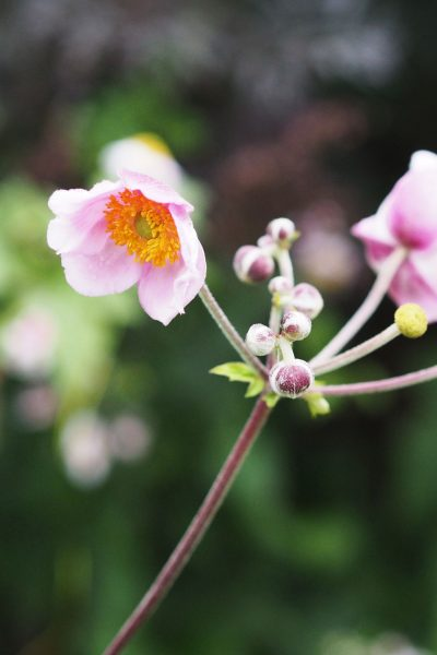Japanese anemones flourish in August in the Middlesized Garden