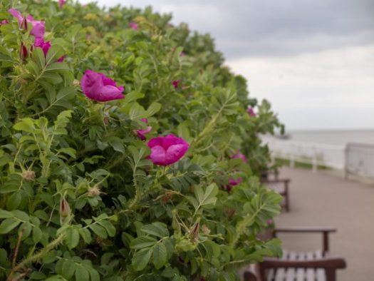 Rosa rugosa is good for exposed sites