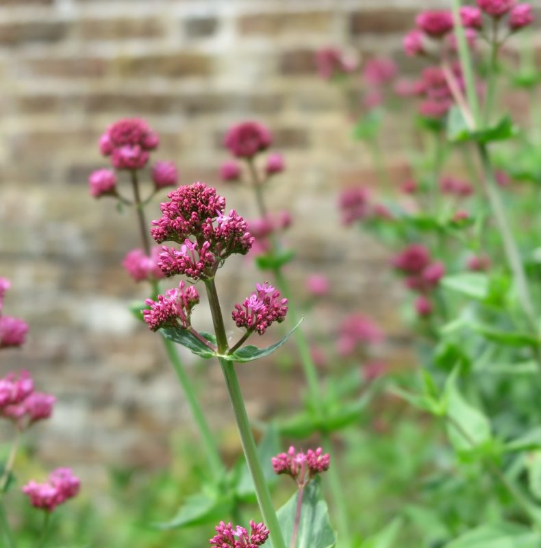 Valerian root is used to aid sleep and reduce anxiety.