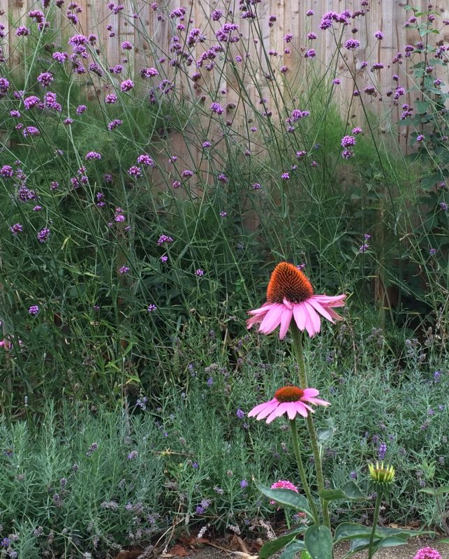 Echinacea purpurea is a well-known medicinal plant