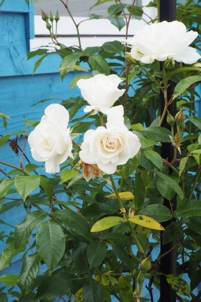 Choose climbing roses rather than rambling roses for a windy garden