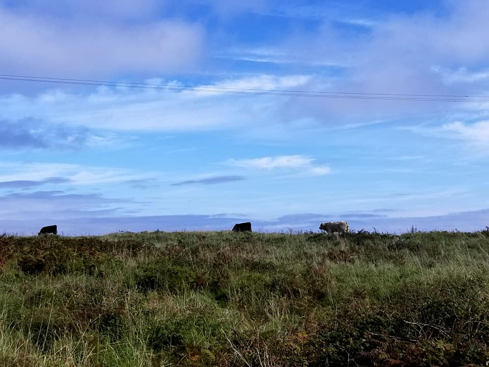 Cows in a field shown on the horizon in Inis Mor, Ireland.