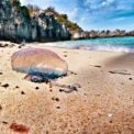 Washed ashore Portuguese Man o' War on Achilles' Bay beach in St. George's, Bermuda