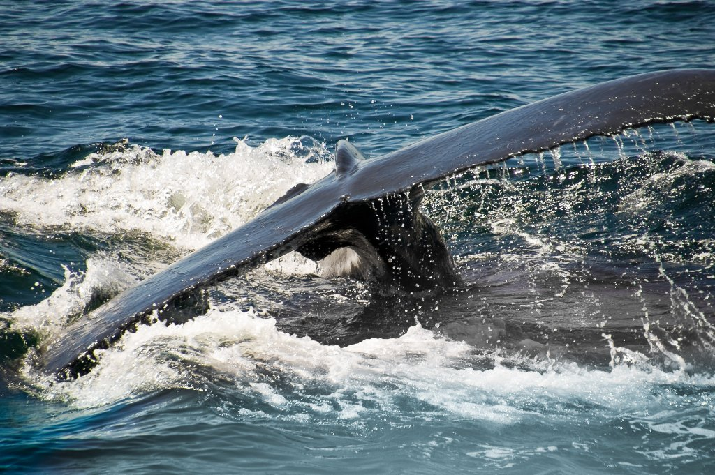 Humpback whale tale coming out of splashing water in the Atlantic off the coast of New England.