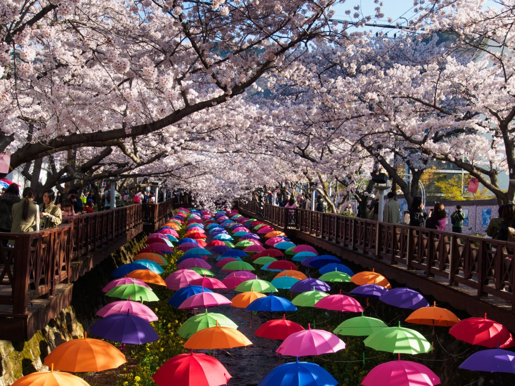 Annual cherry blossom festival in South Korea, a path lined with cherry blossom trees.  A sight to behold each spring.