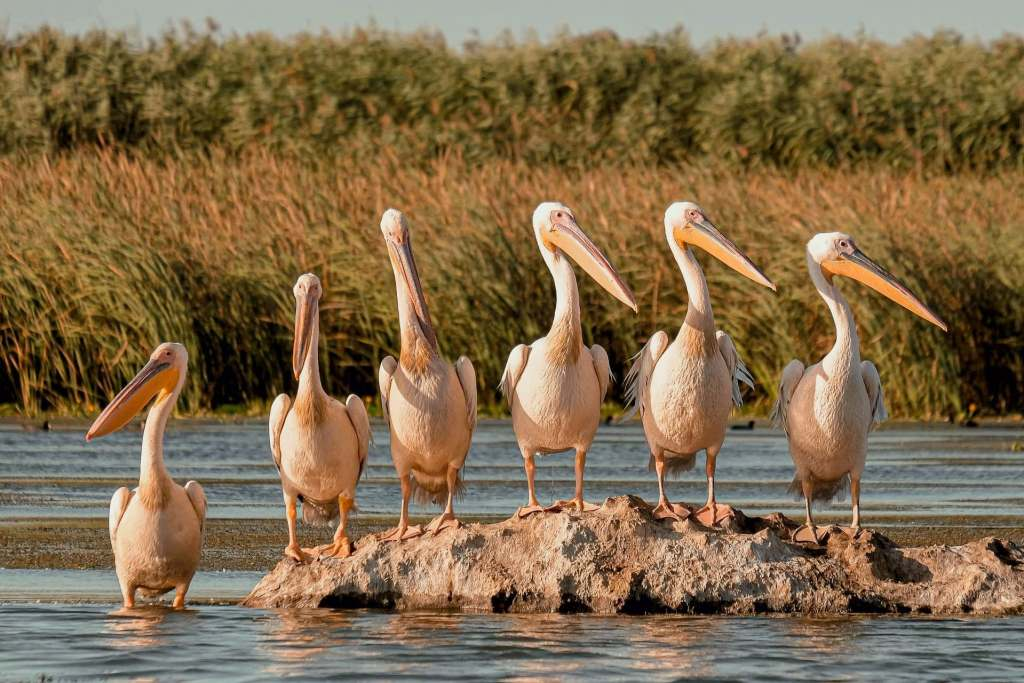Group of pelicans hanging out at the Danube Delta in Romania.