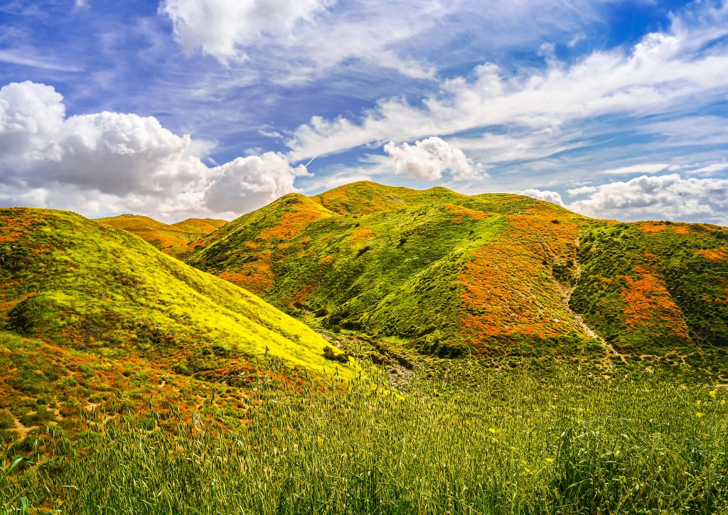 Wildflowers in California during spring.
