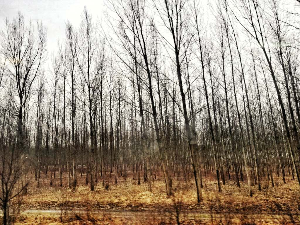 View of barren tree forest out the window of the train from Budapest to Sibiu