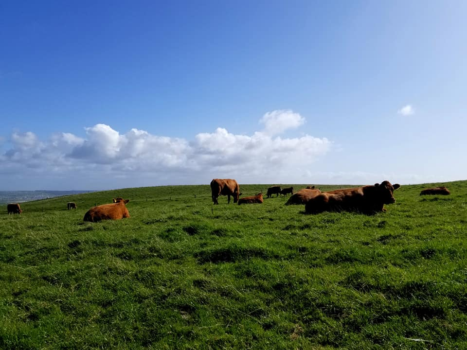 Cows grazing in Ireland on an easy day trip from Galway
