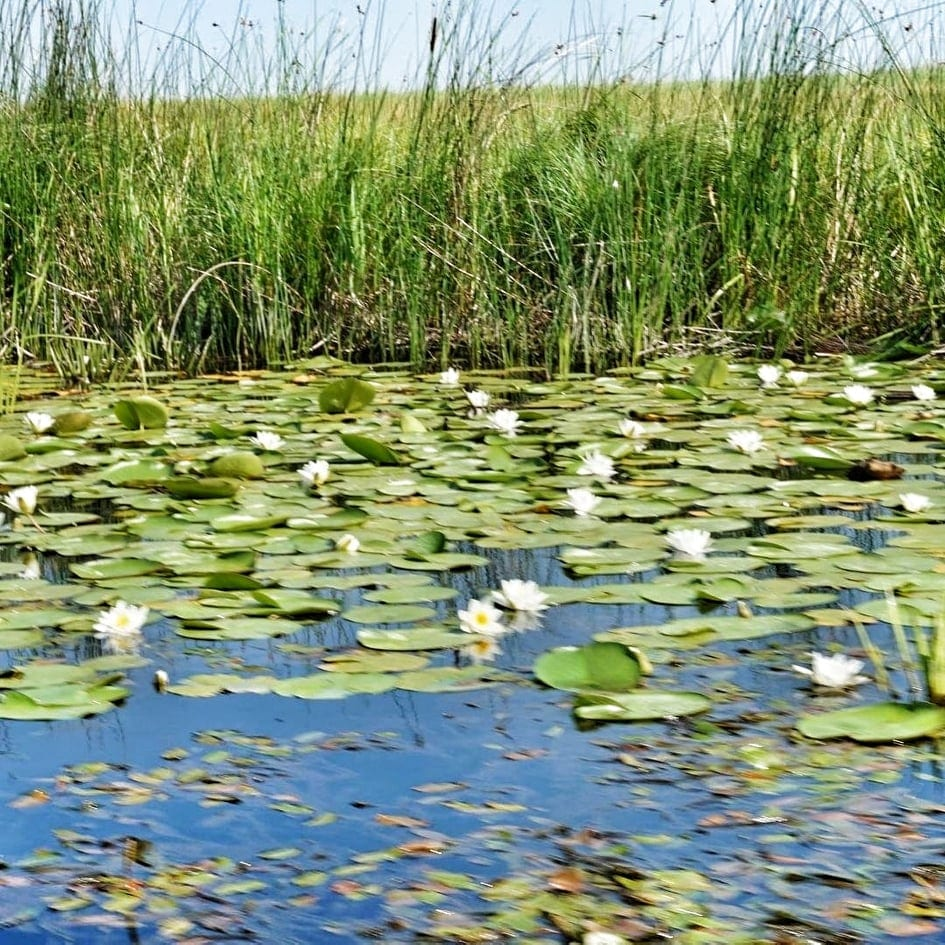Lilypads and reeds on the Danube River, Delta Dunarii, Romania