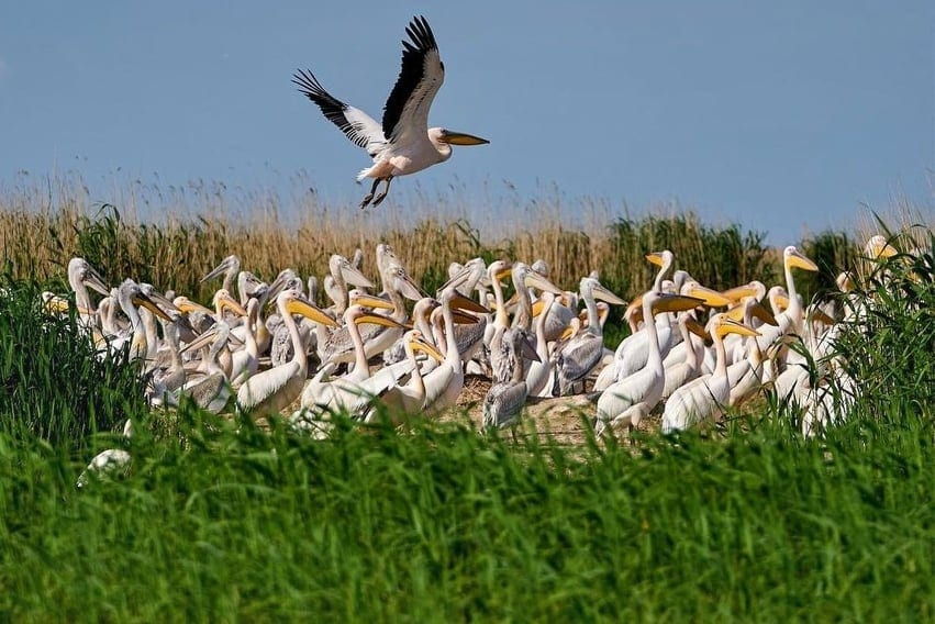 Pelican colony at the Danube Delta, Romania