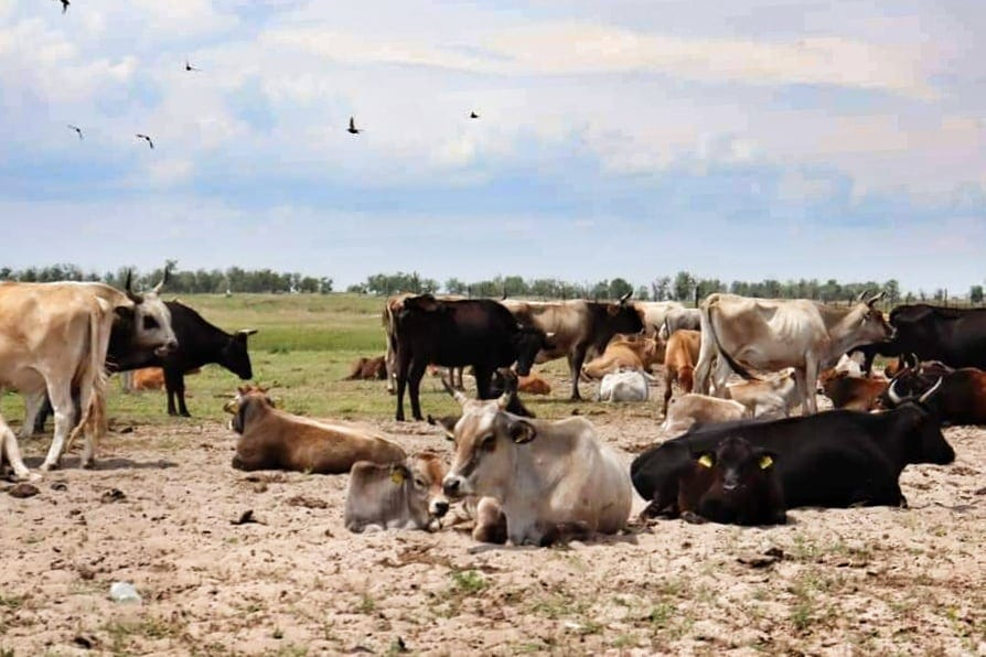 Many cows and bulls gathered in the Danube Delta grasslands