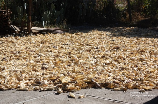 Corn husks drying under the sun, in Teotitlán del Valle, Oaxaca.