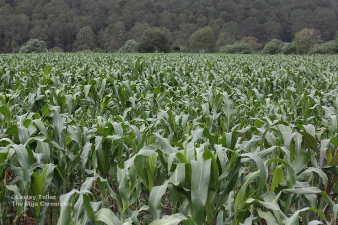 A corn field in Tlaxcala, Mexico.