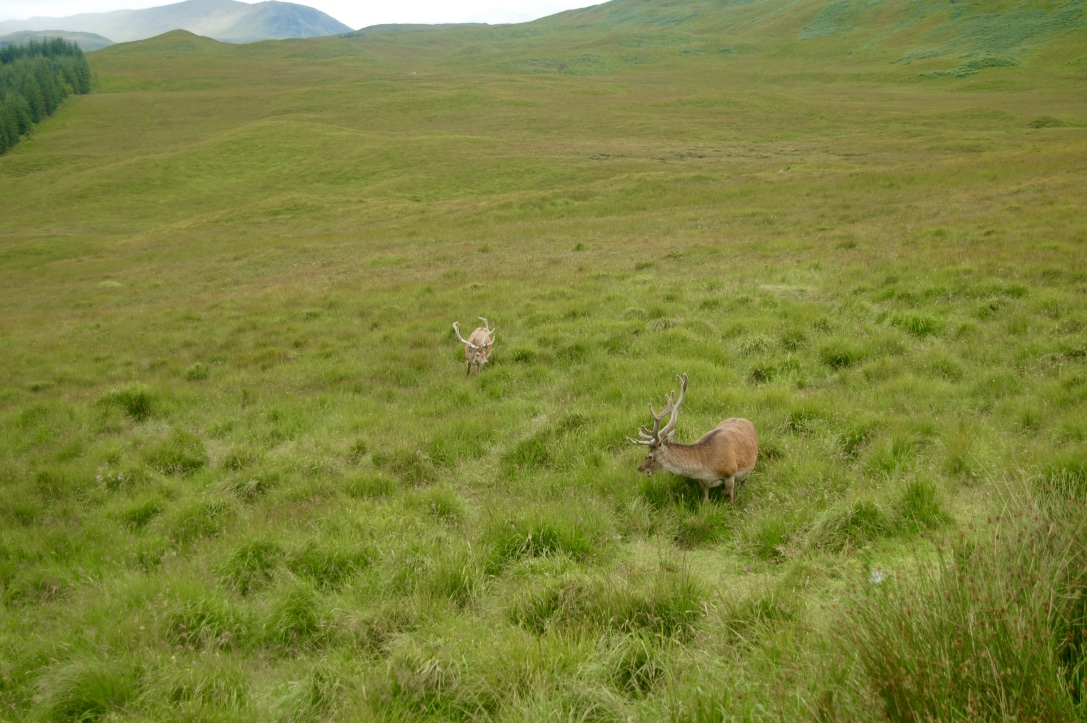 Glen Coe Deer