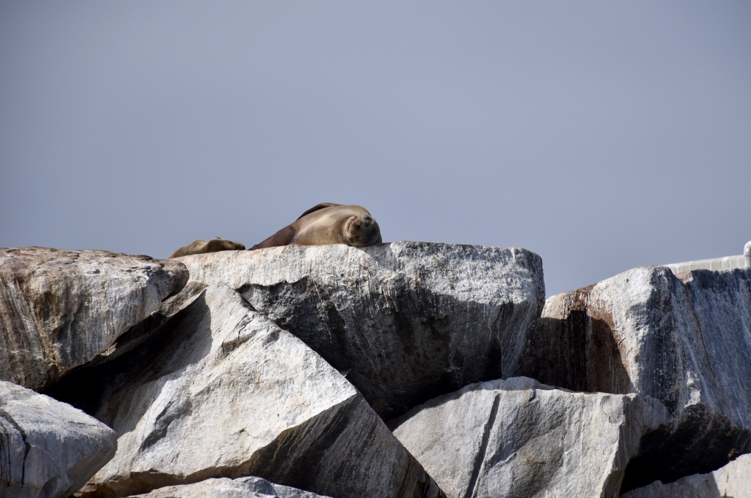 Sea Lion Dreaming