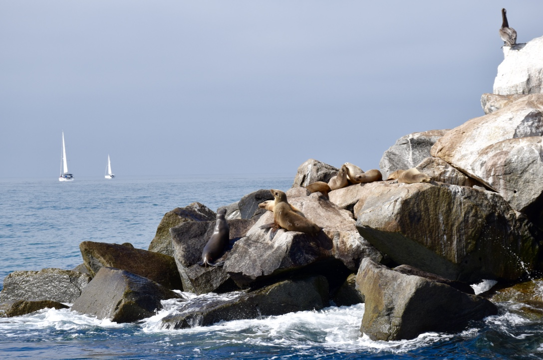 Sea Lions:Sailboats
