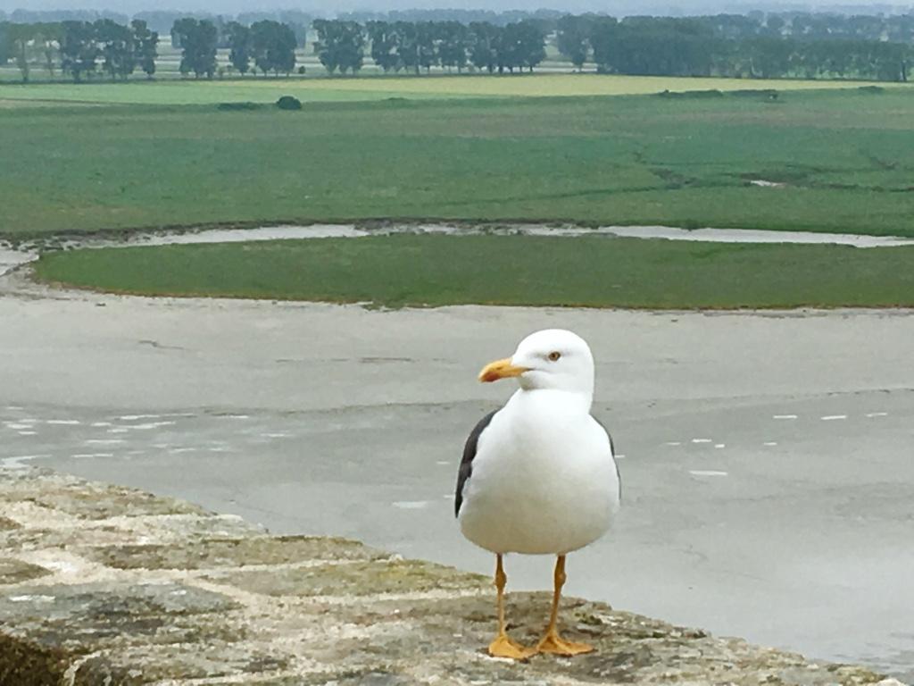 mont saint michel seagull