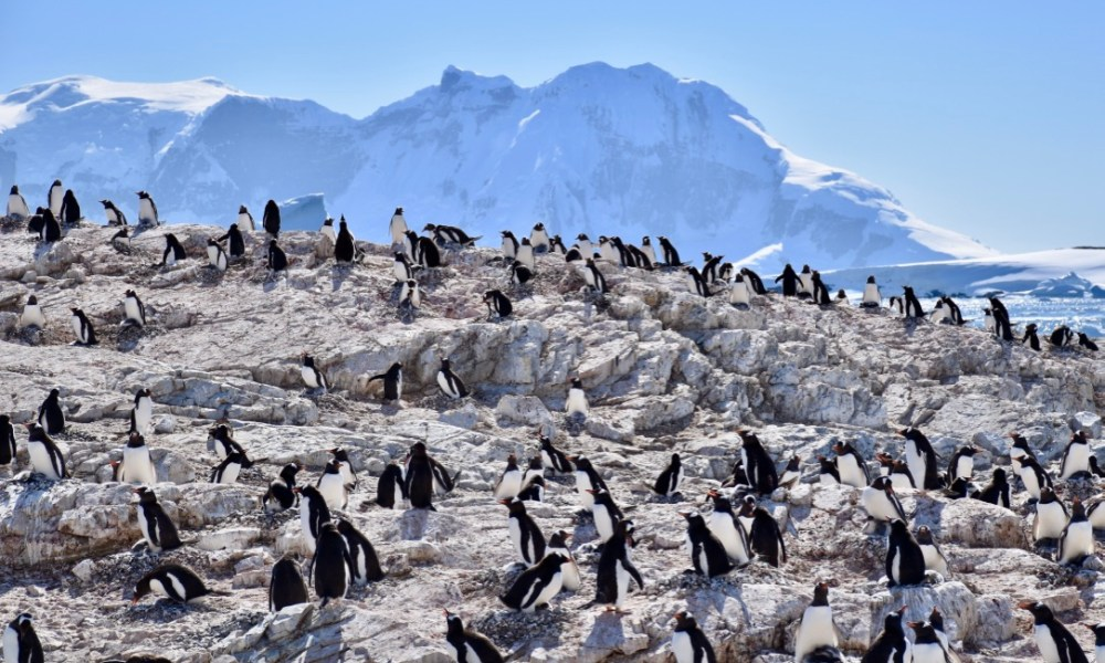 Antarctica Day 2: Cuverville Island, Gentoo Penguins & Crabeater Seals