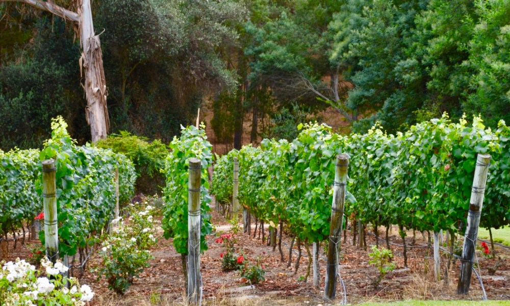 Santiago Day 2: A Day of Wine & Roses in Chile's Casablanca Valley
