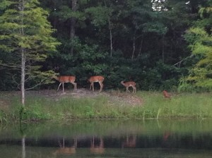 Deer by Water