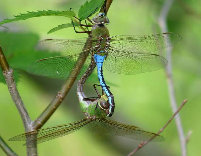Southern Giant Darner