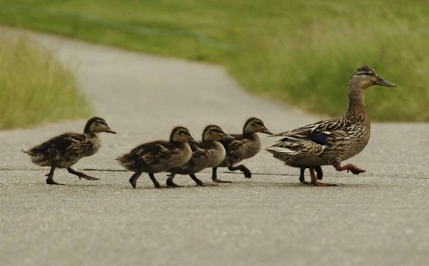 Image result for ducks single file
