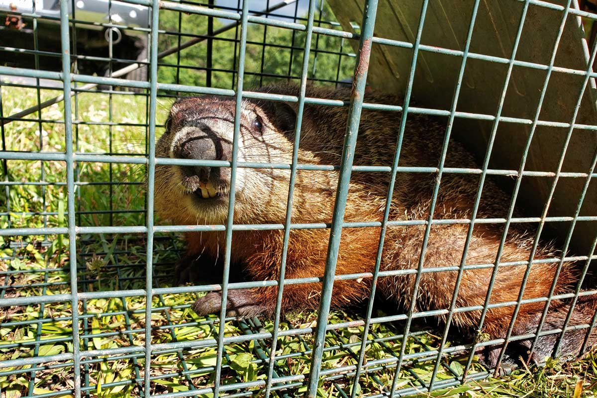 groundhog inside live trap showing teeth
