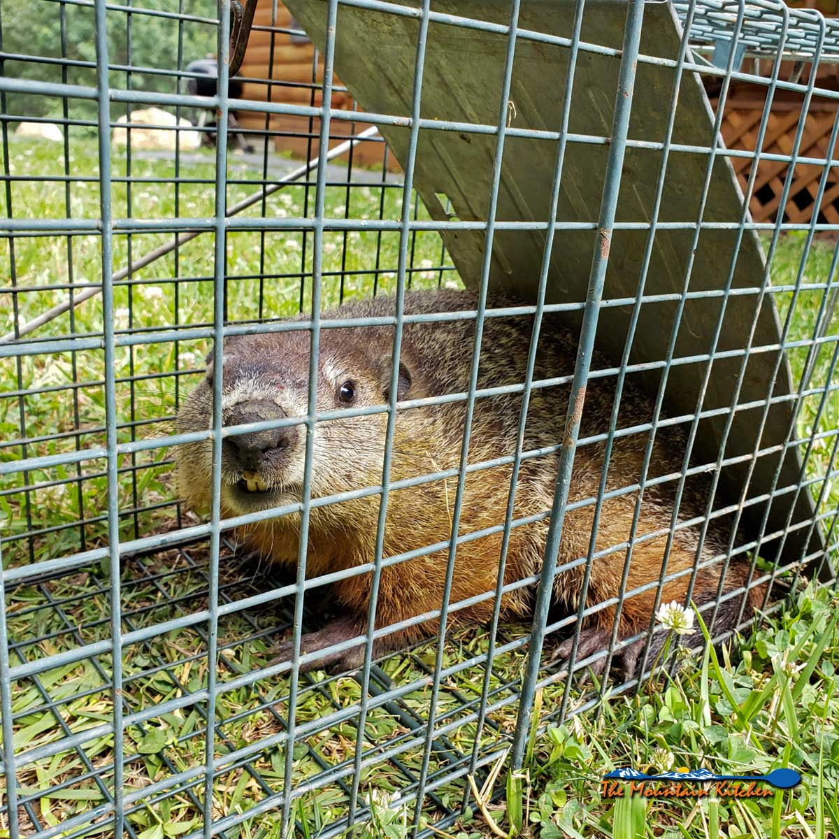 Live Trapping Groundhogs On The Mountain