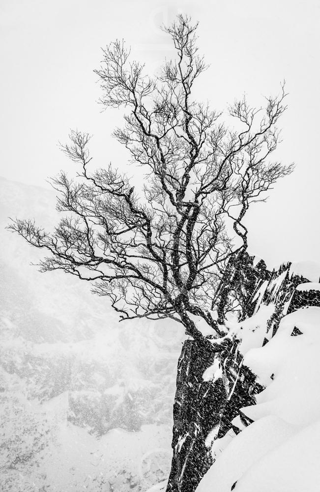 A Silver Birch in winter in the Dinorwic Slate Quarry , Snowdonia