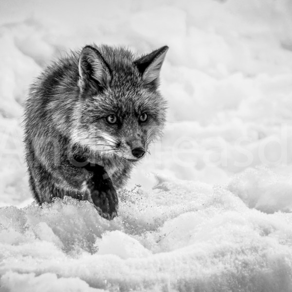 A Red Fox walking across snow