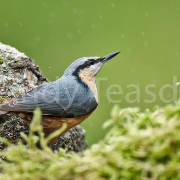A Nuthatch in a quiet woodland