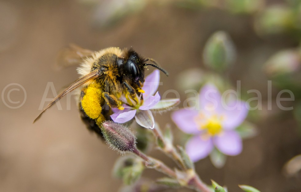 A bee collecting pollen