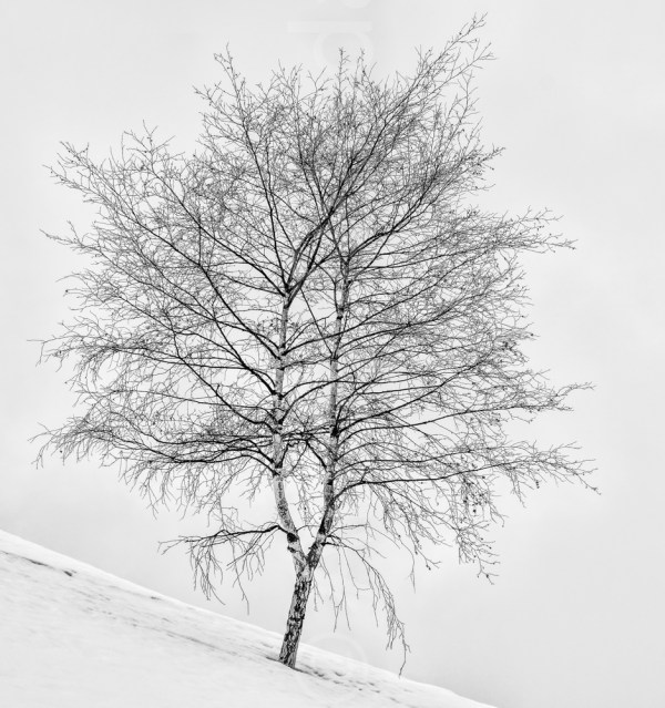 Silver Birch in snow