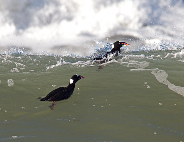 Surf Scoters, Northern California Coastline