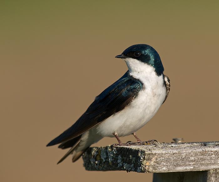 Tree Swallow, Creamer's Refuge, Fairbanks