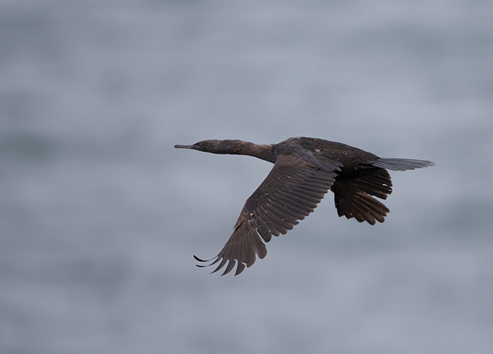 Pelagic Cormorant in Flight, St. Paul Island, Alaska
