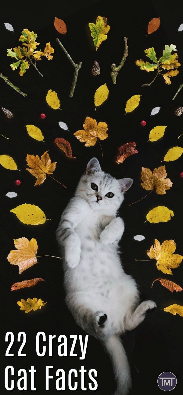 22 Weird, crazy and wonderful cat facts that you never knew that you needed to know! - great for pub trivia and learning more about our feline friends.