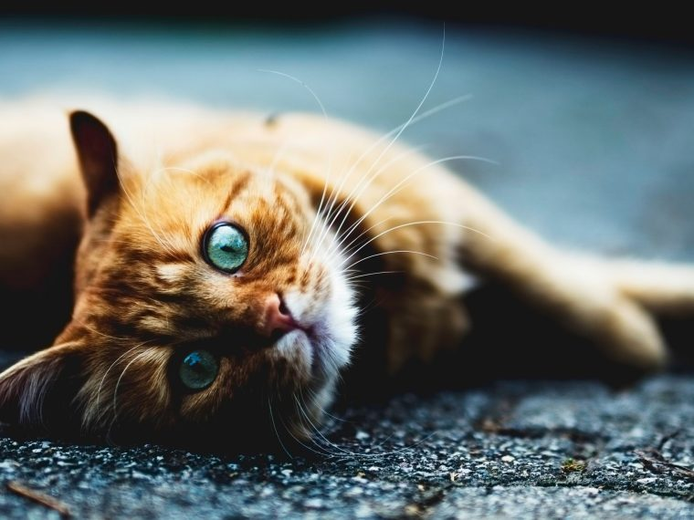 Ginger cat lying on floor - crazy cat facts