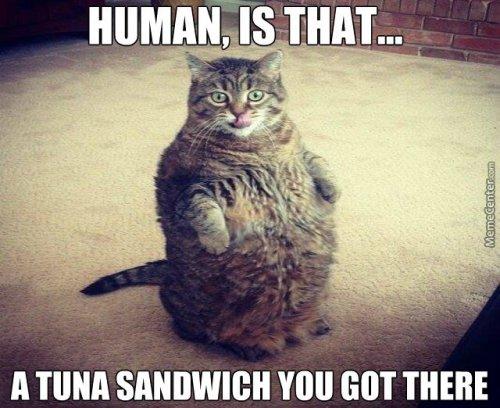 tuna sandwich fat cat meme - weight loss tips for fat cat