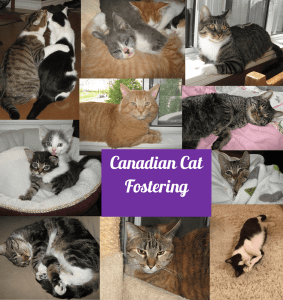 canadian cat fostering