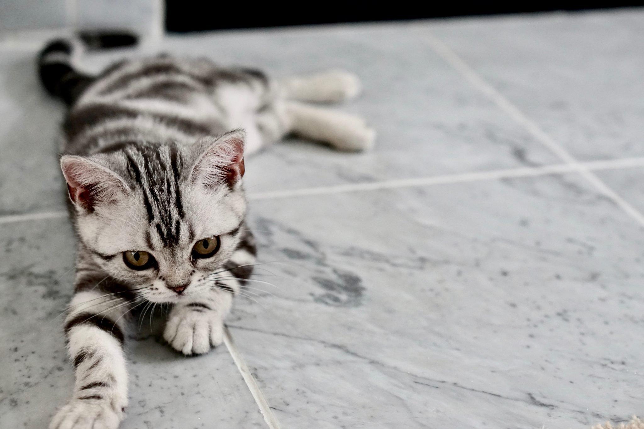 flea free cat on tiled floor